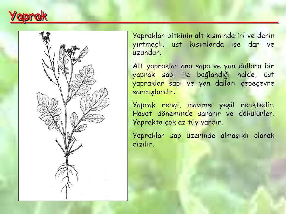 YaprakYaprak Yapraklar bitkinin alt kısmında iri ve derin yırtmaçlı, üst kısımlarda ise dar ve uzundur.