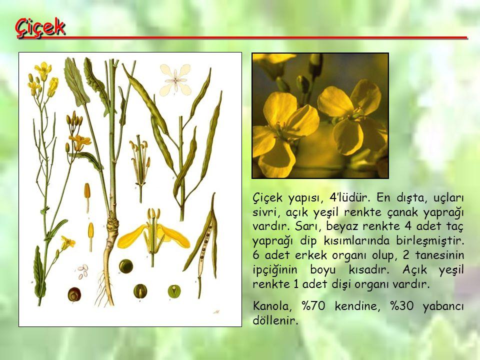 ÇiçekÇiçek Çiçek yapısı, 4'lüdür.En dışta, uçları sivri, açık yeşil renkte çanak yaprağı vardır.