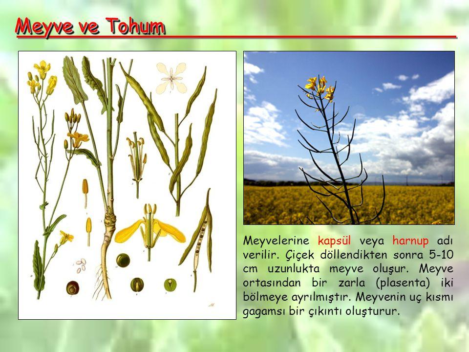 Meyve ve Tohum Meyvelerine kapsül veya harnup adı verilir.
