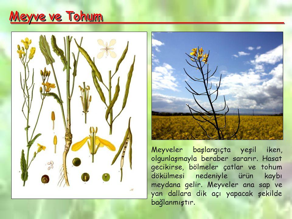 Meyve ve Tohum Meyveler başlangıçta yeşil iken, olgunlaşmayla beraber sararır.