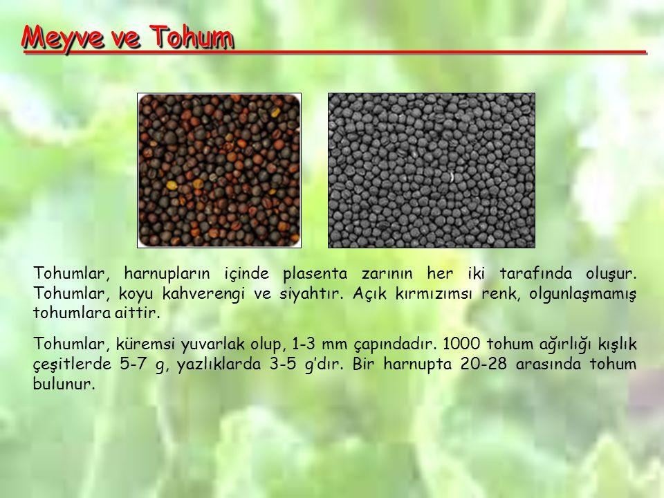 Meyve ve Tohum Tohumlar, harnupların içinde plasenta zarının her iki tarafında oluşur.
