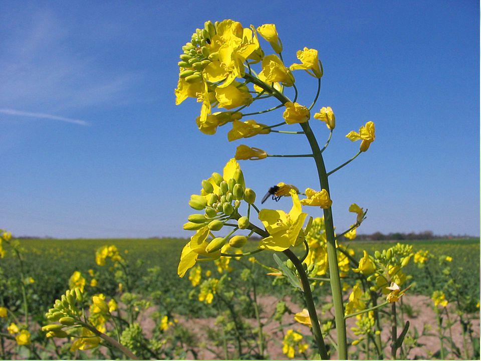ÇiçekÇiçek Çiçekler ana sap ve yan dalların ucunda seyrek salkım şeklinde bulunup, 10-15 cm'lik salkım ekseni üzerinde toplanmıştır.