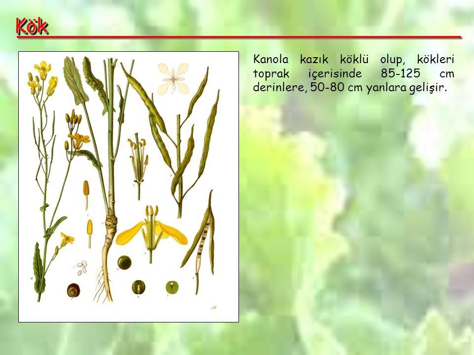 KökKök Kanola kazık köklü olup, kökleri toprak içerisinde 85-125 cm derinlere, 50-80 cm yanlara gelişir.