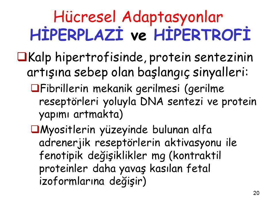 20 Hücresel Adaptasyonlar HİPERPLAZİ ve HİPERTROFİ  Kalp hipertrofisinde, protein sentezinin artışına sebep olan başlangıç sinyalleri:  Fibrillerin mekanik gerilmesi (gerilme reseptörleri yoluyla DNA sentezi ve protein yapımı artmakta)  Myositlerin yüzeyinde bulunan alfa adrenerjik reseptörlerin aktivasyonu ile fenotipik değişiklikler mg (kontraktil proteinler daha yavaş kasılan fetal izoformlarına değişir)