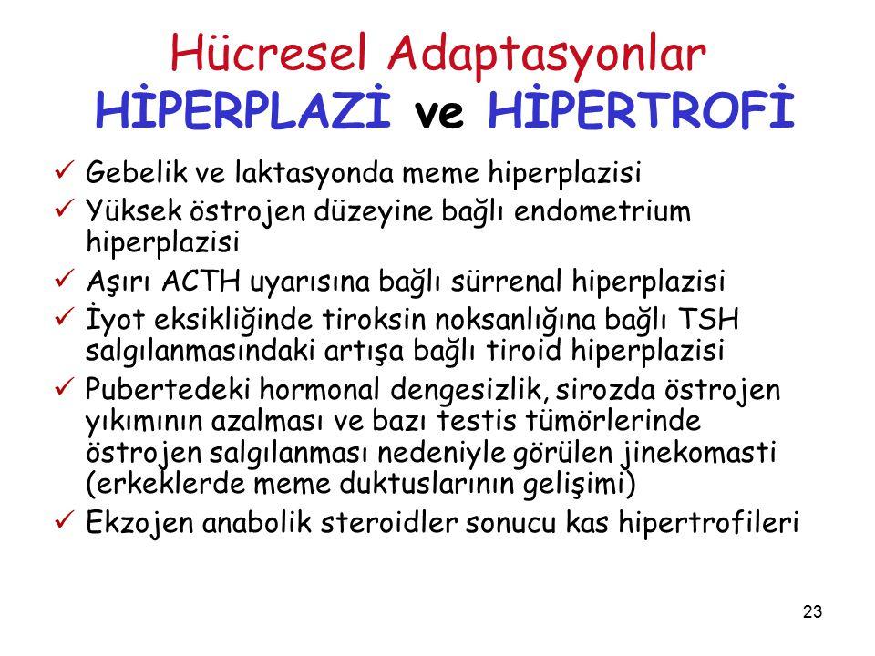 23 Hücresel Adaptasyonlar HİPERPLAZİ ve HİPERTROFİ Gebelik ve laktasyonda meme hiperplazisi Yüksek östrojen düzeyine bağlı endometrium hiperplazisi Aşırı ACTH uyarısına bağlı sürrenal hiperplazisi İyot eksikliğinde tiroksin noksanlığına bağlı TSH salgılanmasındaki artışa bağlı tiroid hiperplazisi Pubertedeki hormonal dengesizlik, sirozda östrojen yıkımının azalması ve bazı testis tümörlerinde östrojen salgılanması nedeniyle görülen jinekomasti (erkeklerde meme duktuslarının gelişimi) Ekzojen anabolik steroidler sonucu kas hipertrofileri