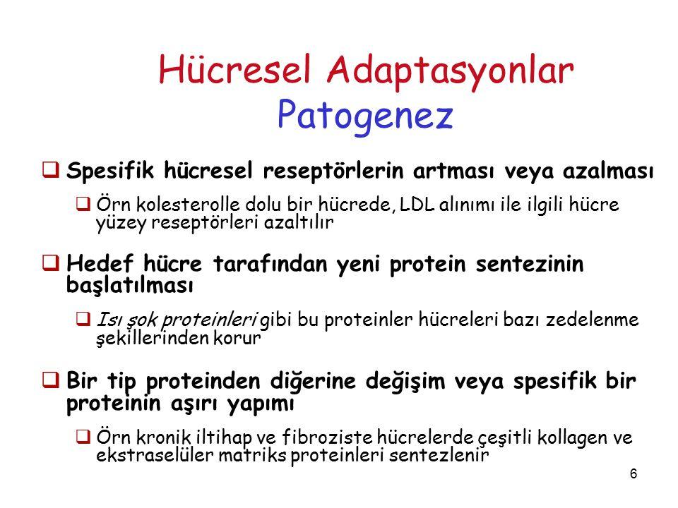 7 Hücresel Adaptasyonlar  Hücresel adaptif cevaplar;  Reseptör bağlama….