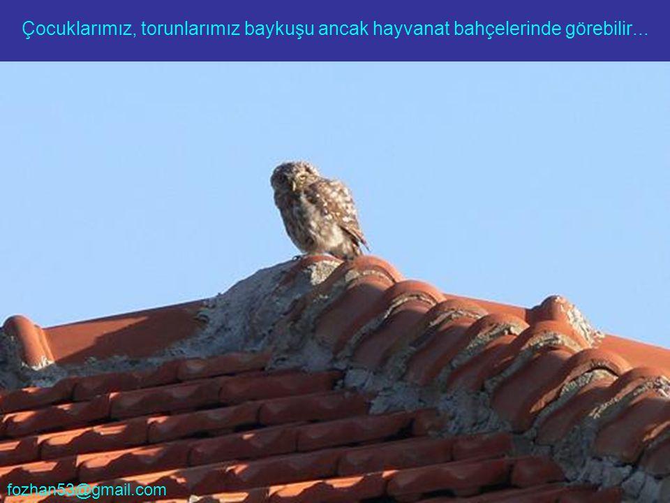 Çocuklarımız, torunlarımız baykuşu ancak hayvanat bahçelerinde görebilir... fozhan53@gmail.com