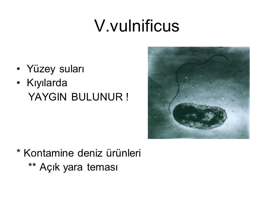V.vulnificus Yüzey suları Kıyılarda YAYGIN BULUNUR ! * Kontamine deniz ürünleri ** Açık yara teması