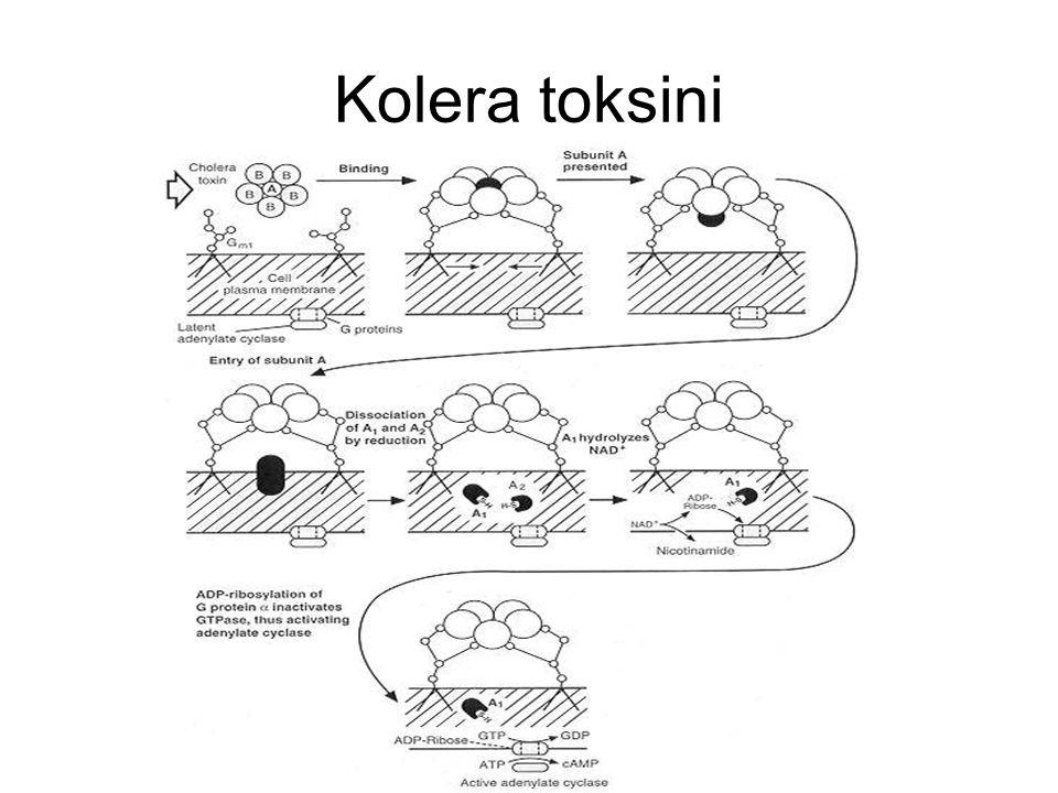 Kolera toksini