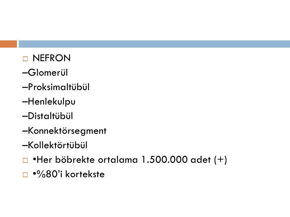  NEFRON –Glomerül –Proksimaltübül –Henlekulpu –Distaltübül –Konnektörsegment –Kollektörtübül  Her böbrekte ortalama 1.500.000 adet (+)  %80'i korte
