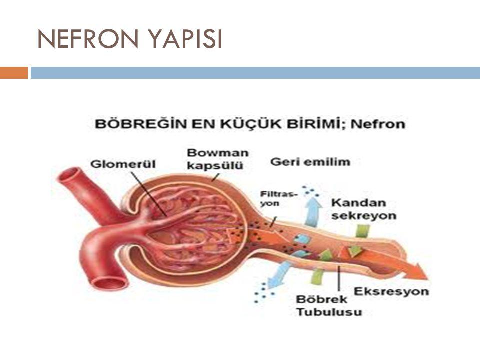 NEFRON YAPISI