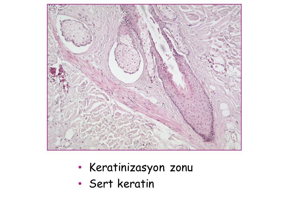 Keratinizasyon zonu Sert keratin
