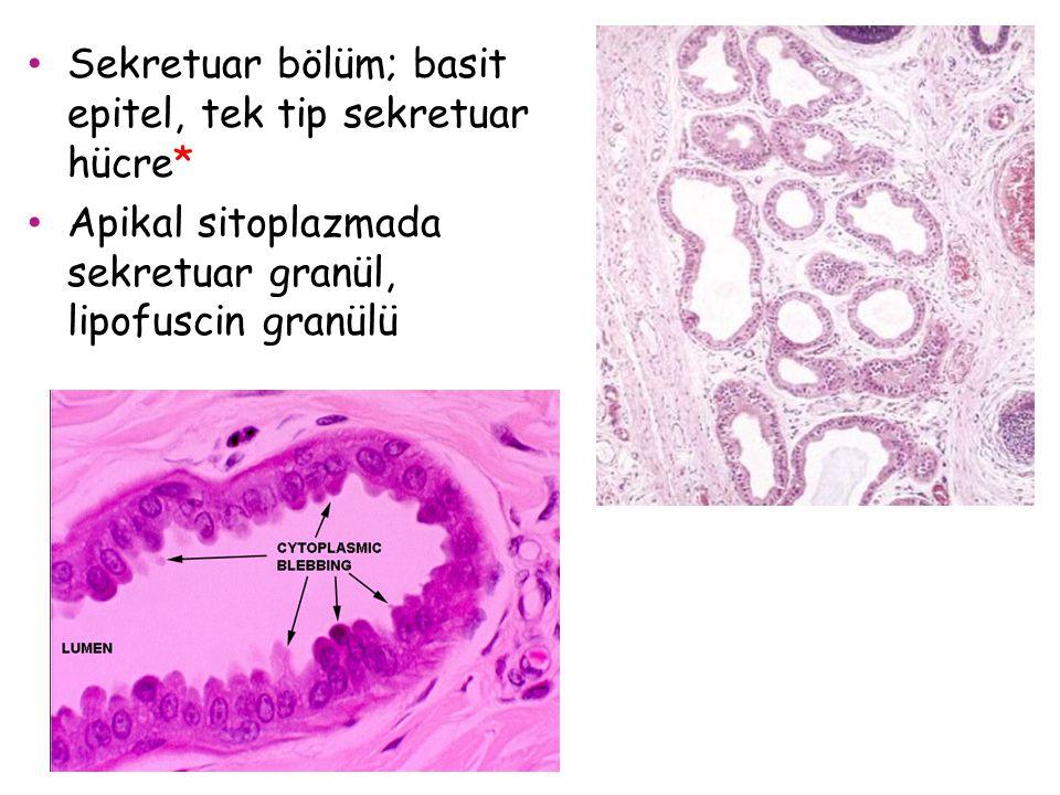 Sekretuar bölüm; basit epitel, tek tip sekretuar hücre* Apikal sitoplazmada sekretuar granül, lipofuscin granülü