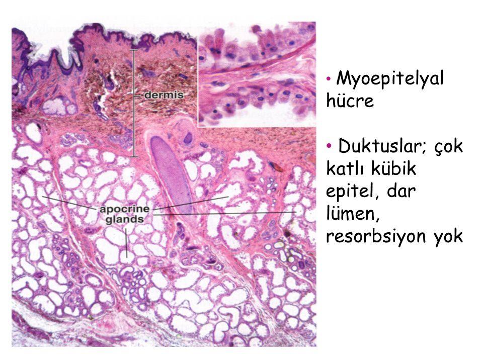 Myoepitelyal hücre Duktuslar; çok katlı kübik epitel, dar lümen, resorbsiyon yok