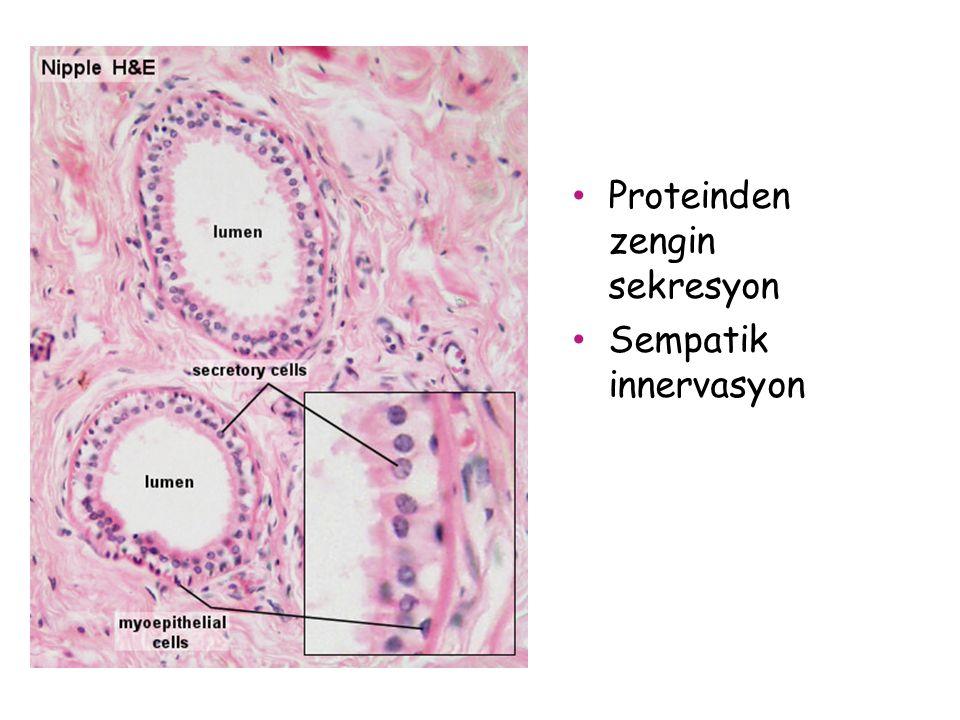Proteinden zengin sekresyon Sempatik innervasyon