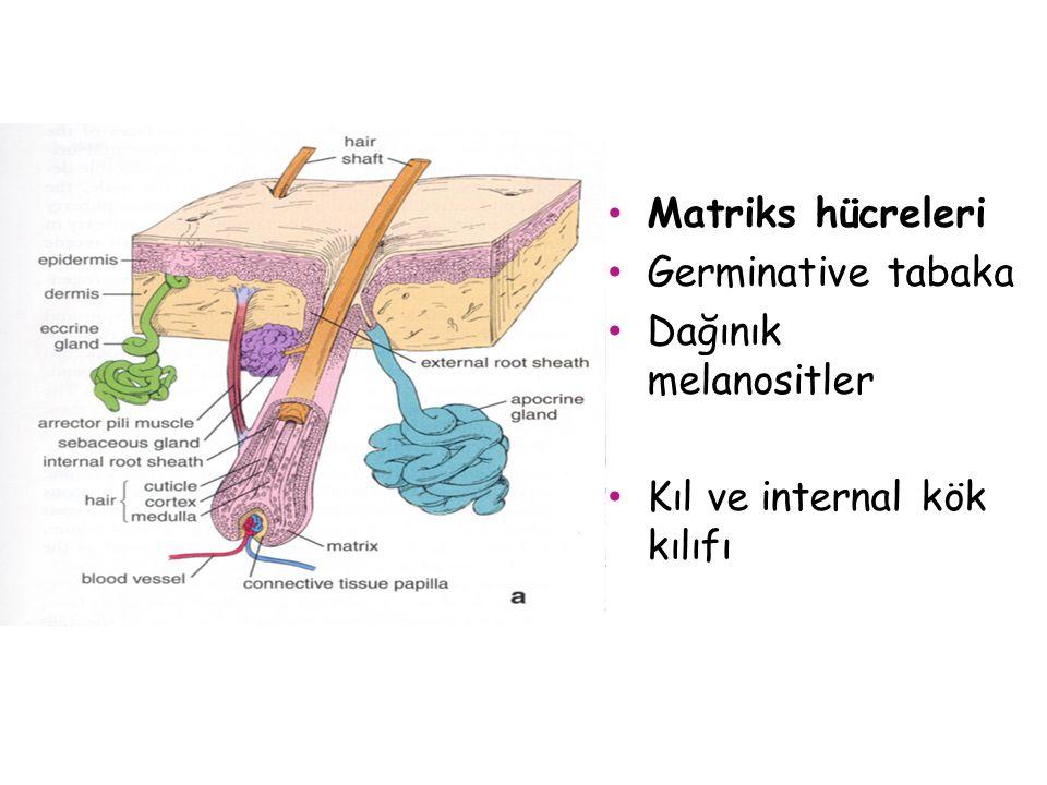 Matriks hücreleri Germinative tabaka Dağınık melanositler Kıl ve internal kök kılıfı