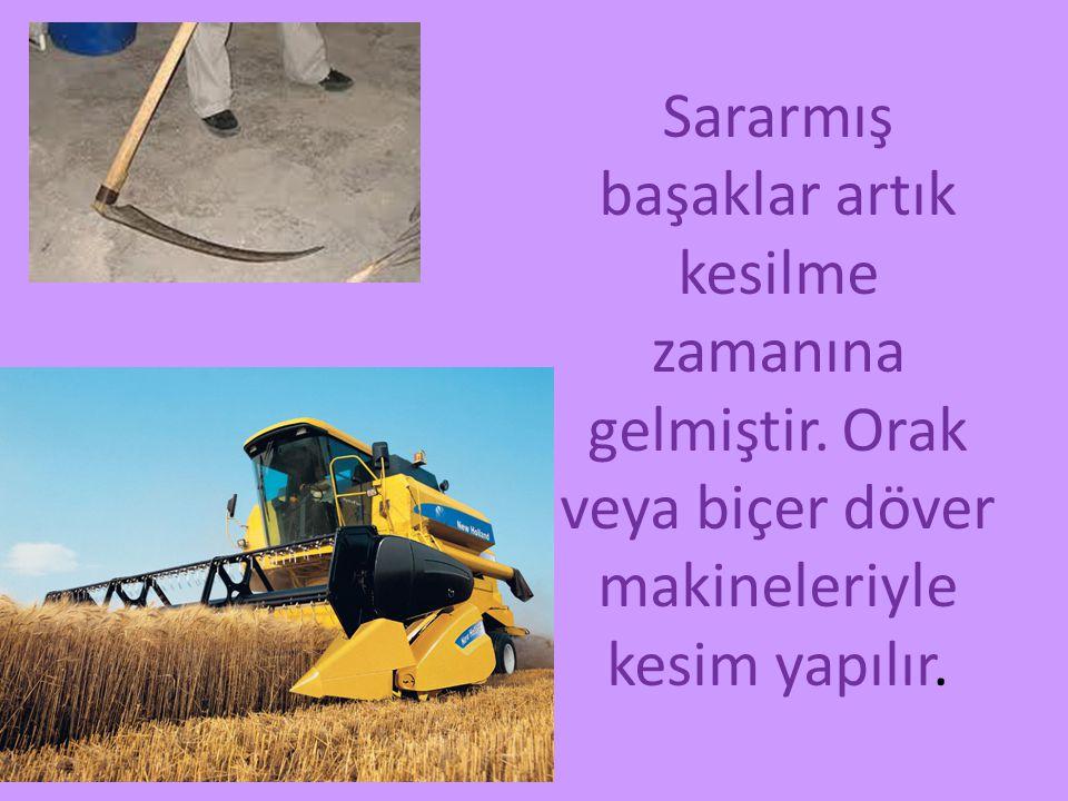 Kesilmiş başaklar insan ve makine yardımı ile saman ve tohum yani buğday olarak ayrılırlar.Samanlar hayvanlara yiyecek olur.