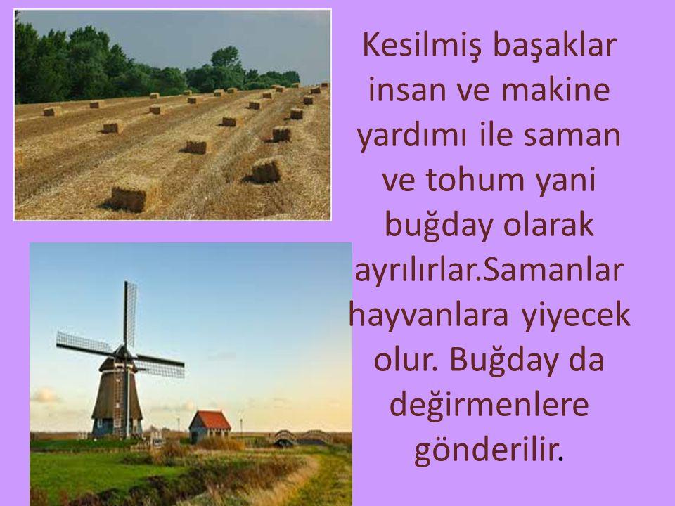 Kesilmiş başaklar insan ve makine yardımı ile saman ve tohum yani buğday olarak ayrılırlar.Samanlar hayvanlara yiyecek olur. Buğday da değirmenlere gö