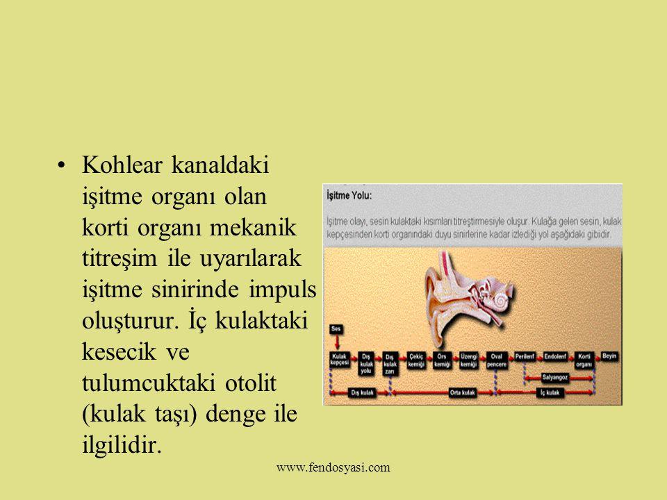 www.fendosyasi.com İç Kulak:Oval pencere iç kulaktaki salyangoz (kohlea) ile bağlantılıdır.