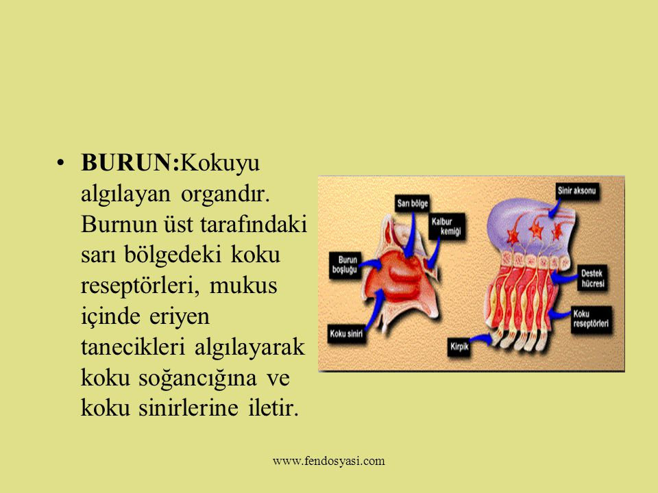 www.fendosyasi.com DİL:Tatma duyumuzu gerçekleştiren organdır.