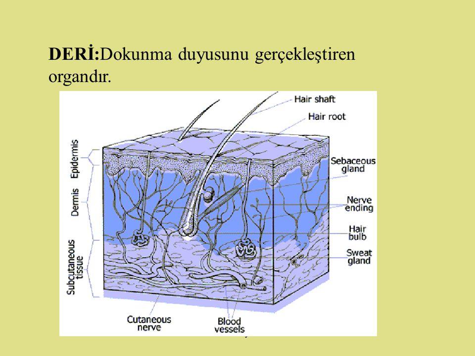 www.fendosyasi.com BURUN:Kokuyu algılayan organdır.