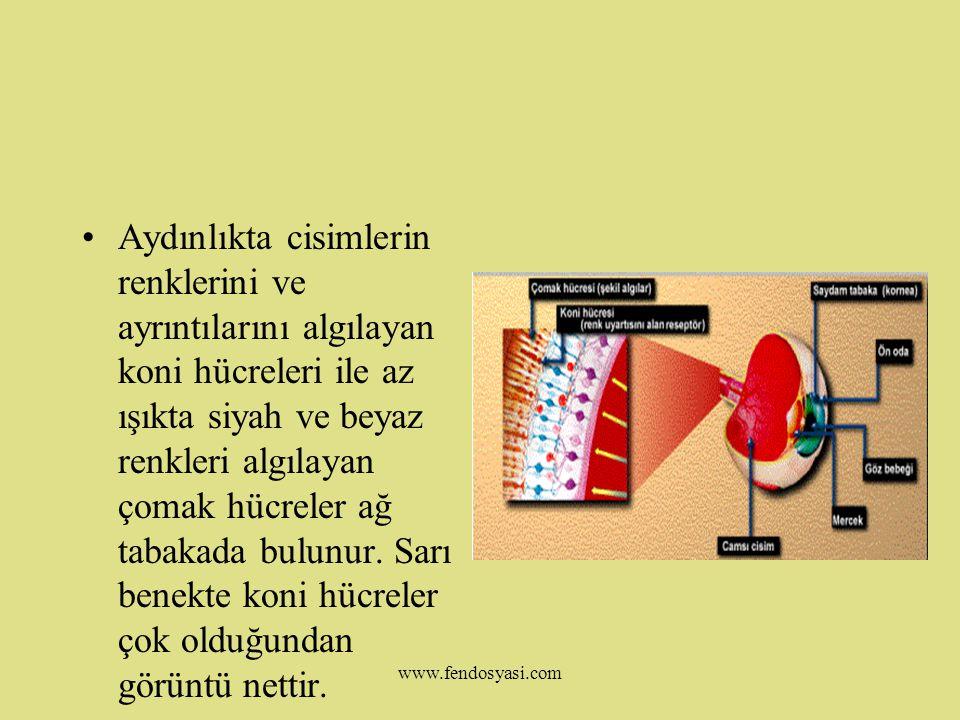 www.fendosyasi.com Ağ Tabaka(Retina): Sinirlerin ve ışığa karşı hassas reseptörlerin bulunduğu tabakadır.