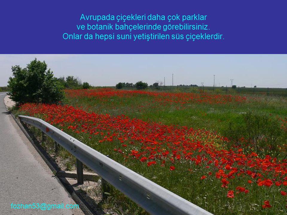Avrupada çiçekleri daha çok parklar ve botanik bahçelerinde görebilirsiniz. Onlar da hepsi suni yetiştirilen süs çiçeklerdir. fozhan53@gmail.com