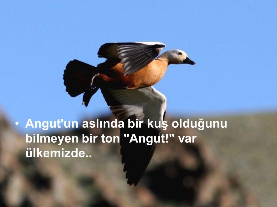 Angut un aslında bir kuş olduğunu bilmeyen bir ton Angut! var ülkemizde..