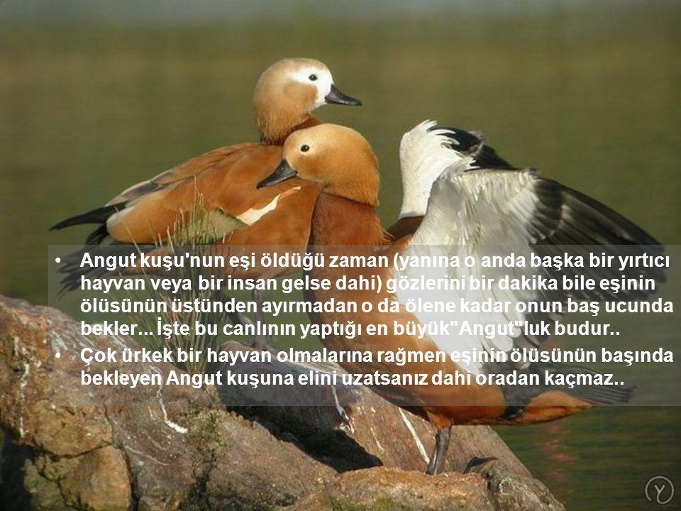 Angut kuşu nun eşi öldüğü zaman (yanına o anda başka bir yırtıcı hayvan veya bir insan gelse dahi) gözlerini bir dakika bile eşinin ölüsünün üstünden ayırmadan o da ölene kadar onun baş ucunda bekler...