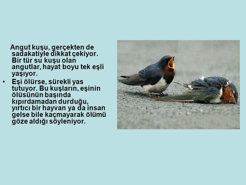 Angut kuşu, gerçekten de sadakatiyle dikkat çekiyor.