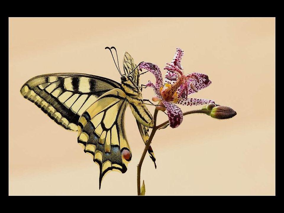 Kâinat Kitabından Bir Sayfa Kelebekler ! Bu sunumda göreceğiniz harika yaratıklar kanatlılardan; hani şu uçmanın yürümekten daha iyi olduğunu düşünere