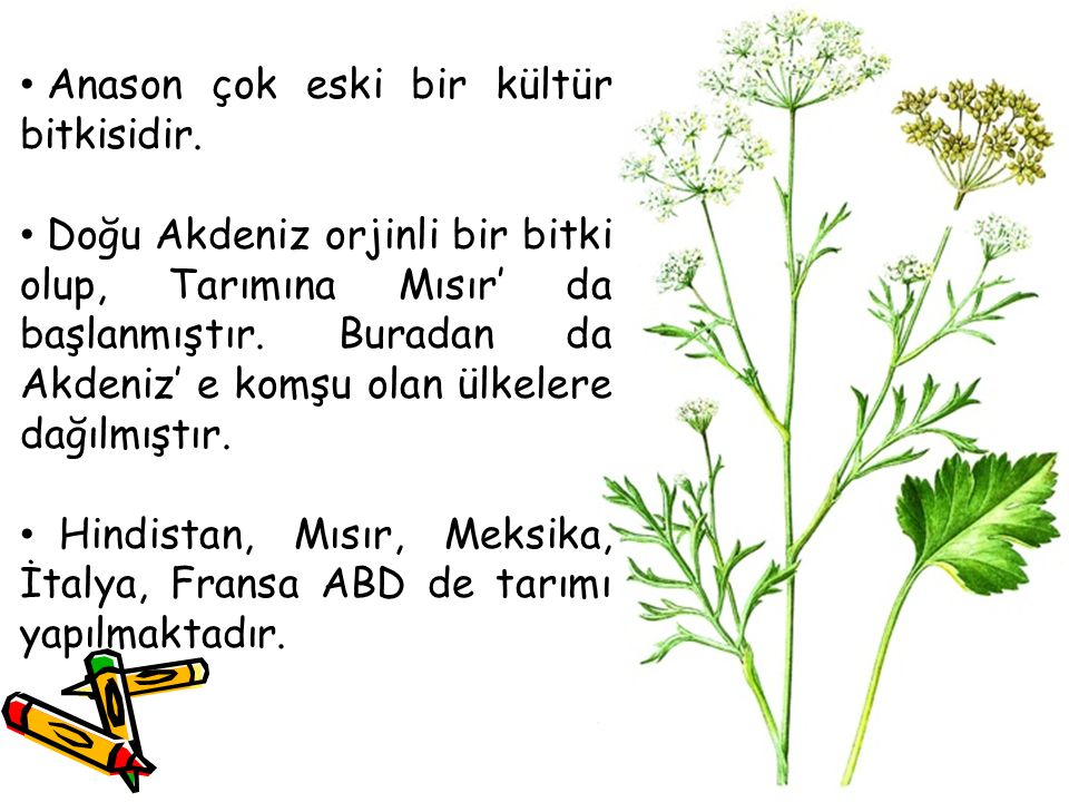 Anason çok eski bir kültür bitkisidir. Doğu Akdeniz orjinli bir bitki olup, Tarımına Mısır' da başlanmıştır. Buradan da Akdeniz' e komşu olan ülkelere