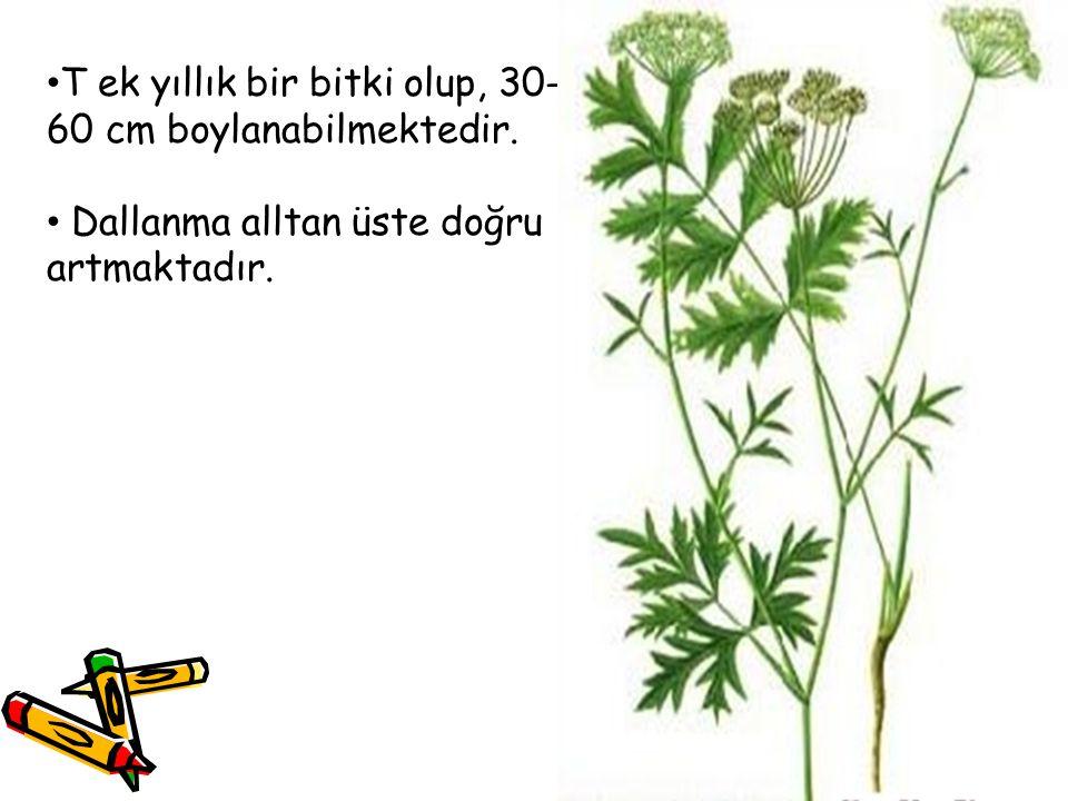 T ek yıllık bir bitki olup, 30- 60 cm boylanabilmektedir. Dallanma alltan üste doğru artmaktadır.
