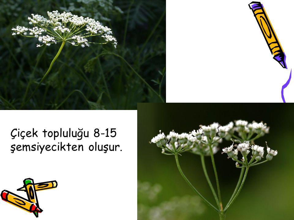 Çiçek topluluğu 8-15 şemsiyecikten oluşur.