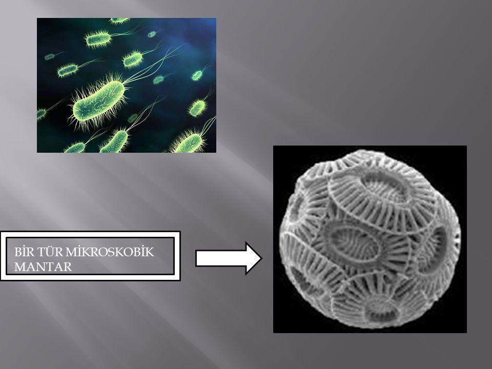 Mikroorganizmalar tek hücreli olsalar da çok hücreli olanları da vardır.