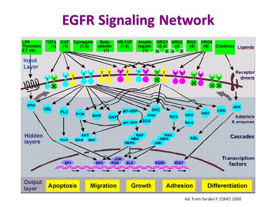 Ad. from Yarden Y. ESMO 2000 EGFR Signaling Network