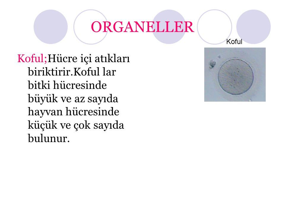 ORGANELLER Koful;Hücre içi atıkları biriktirir.Kofullar bitki hücresinde büyük ve az sayıda hayvan hücresinde küçük ve çok sayıda bulunur. Koful