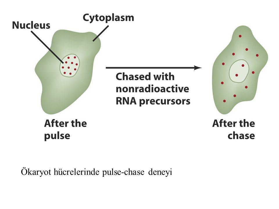 Ökaryot hücrelerinde pulse-chase deneyi