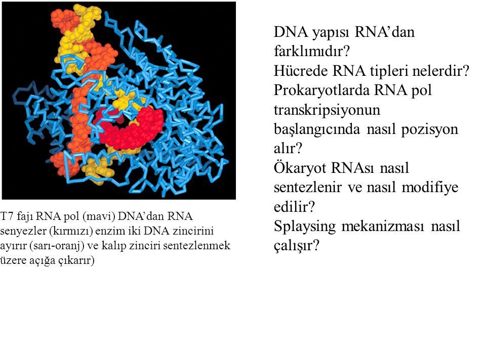 DNA yapısı RNA'dan farklımıdır? Hücrede RNA tipleri nelerdir? Prokaryotlarda RNA pol transkripsiyonun başlangıcında nasıl pozisyon alır? Ökaryot RNAsı