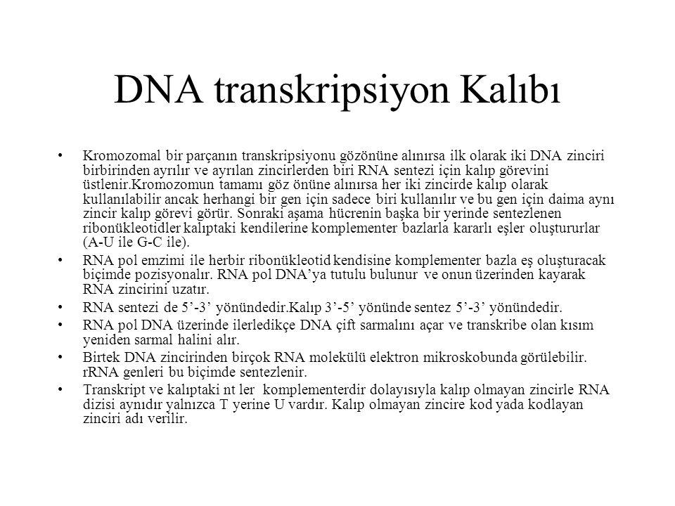 DNA transkripsiyon Kalıbı Kromozomal bir parçanın transkripsiyonu gözönüne alınırsa ilk olarak iki DNA zinciri birbirinden ayrılır ve ayrılan zincirle