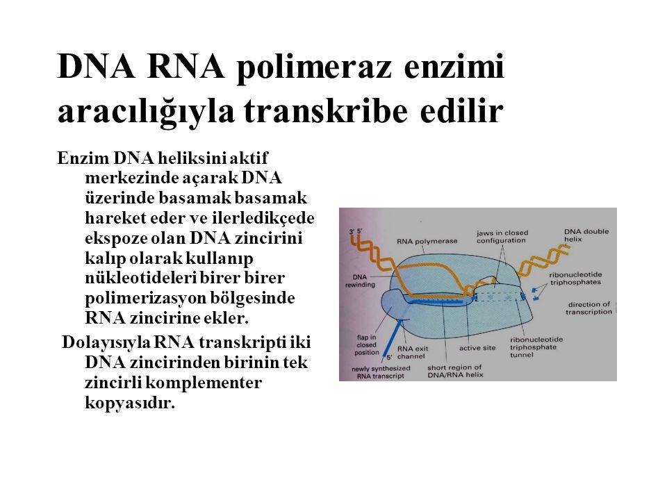 Enzim DNA heliksini aktif merkezinde açarak DNA üzerinde basamak basamak hareket eder ve ilerledikçede ekspoze olan DNA zincirini kalıp olarak kullanı