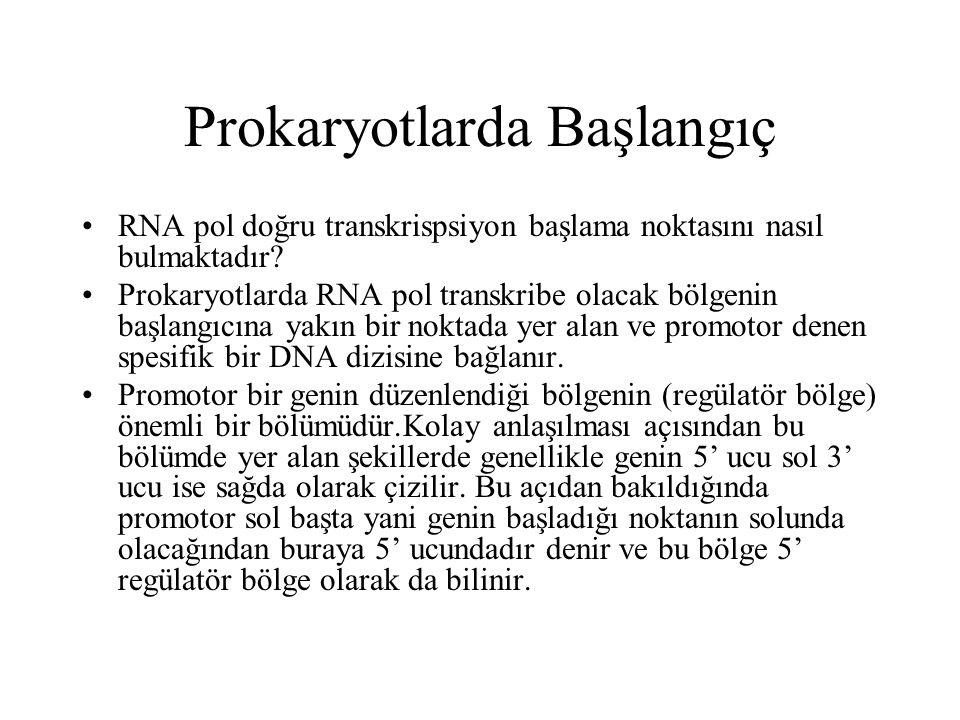 Prokaryotlarda Başlangıç RNA pol doğru transkrispsiyon başlama noktasını nasıl bulmaktadır? Prokaryotlarda RNA pol transkribe olacak bölgenin başlangı