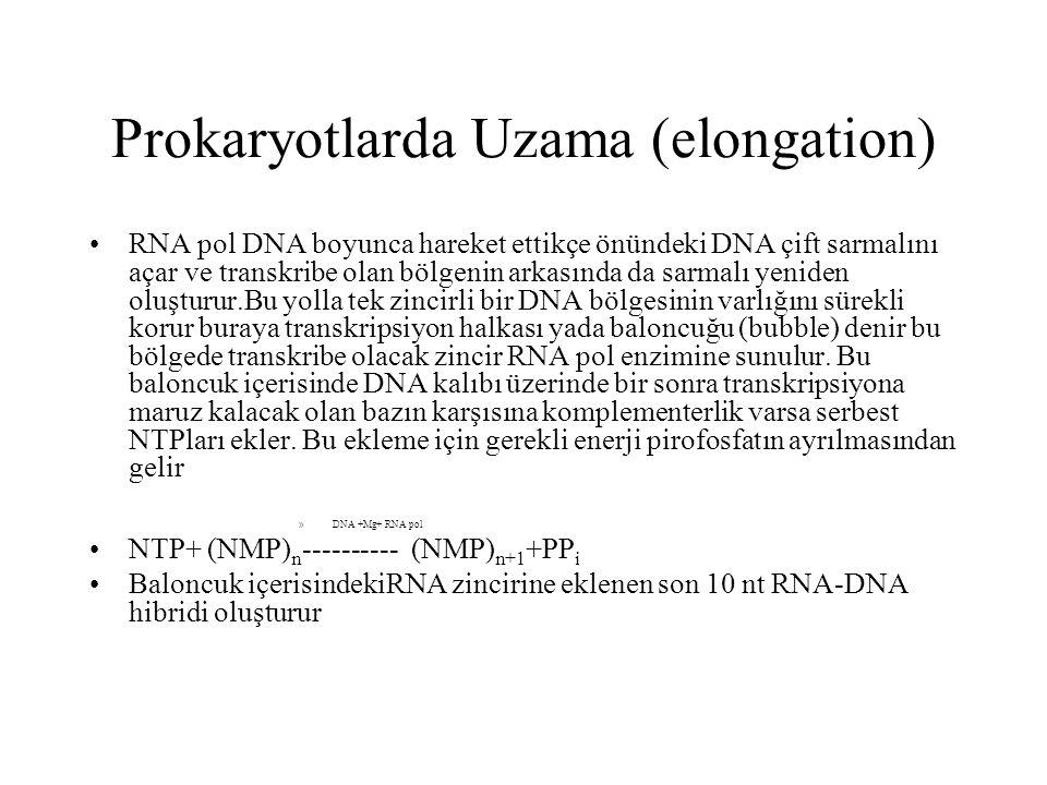 Prokaryotlarda Uzama (elongation) RNA pol DNA boyunca hareket ettikçe önündeki DNA çift sarmalını açar ve transkribe olan bölgenin arkasında da sarmal
