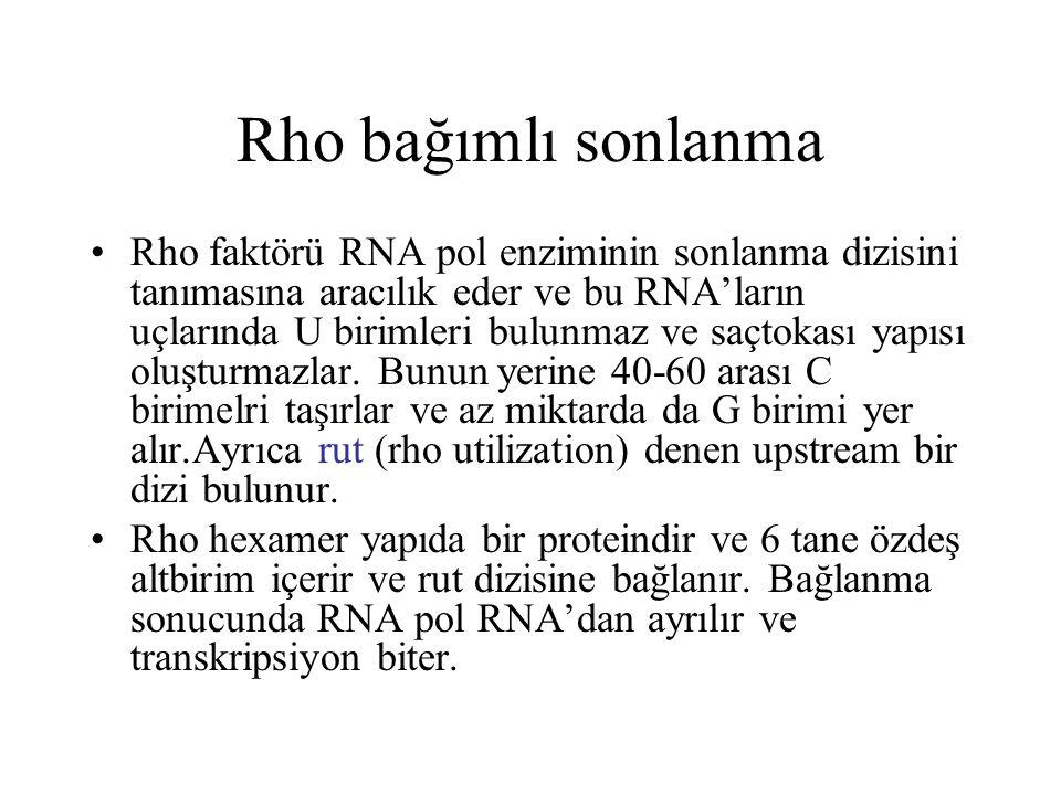 Rho bağımlı sonlanma Rho faktörü RNA pol enziminin sonlanma dizisini tanımasına aracılık eder ve bu RNA'ların uçlarında U birimleri bulunmaz ve saçtok