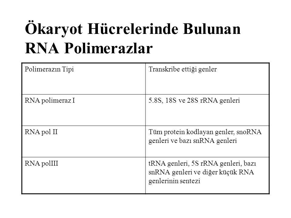 Polimerazın TipiTranskribe ettiği genler RNA polimeraz I5.8S, 18S ve 28S rRNA genleri RNA pol IITüm protein kodlayan genler, snoRNA genleri ve bazı sn