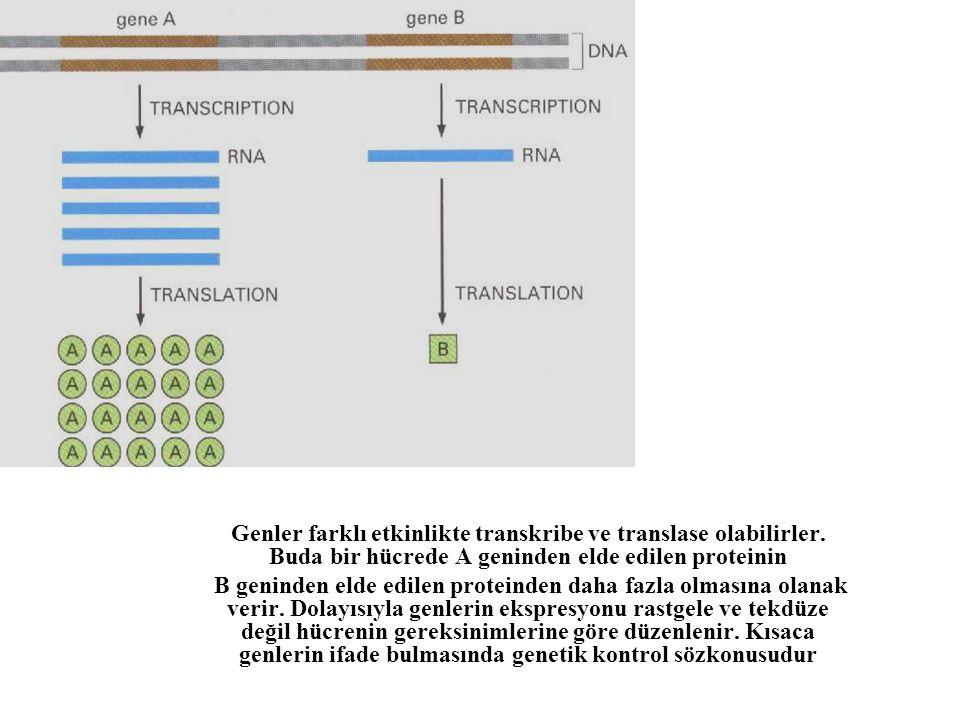 Genler farklı etkinlikte transkribe ve translase olabilirler. Buda bir hücrede A geninden elde edilen proteinin B geninden elde edilen proteinden daha