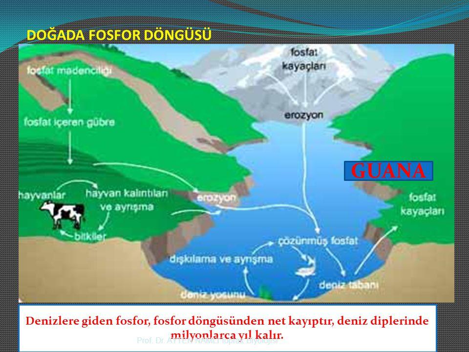 DOĞADA FOSFOR DÖNGÜSÜ GUANA Denizlere giden fosfor, fosfor döngüsünden net kayıptır, deniz diplerinde milyonlarca yıl kalır. Prof. Dr. AYTEN NAMLI Top