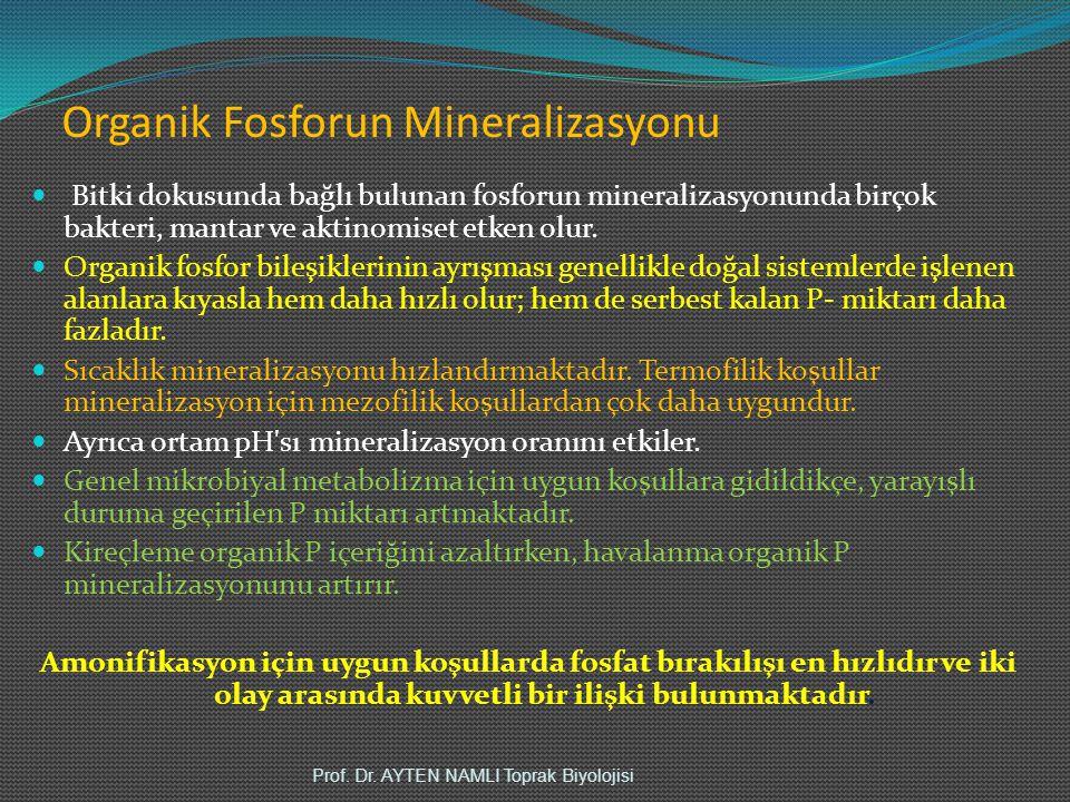 Organik Fosforun Mineralizasyonu Bitki dokusunda bağlı bulunan fosforun mineralizasyonunda birçok bakteri, mantar ve aktinomiset etken olur. Organik f