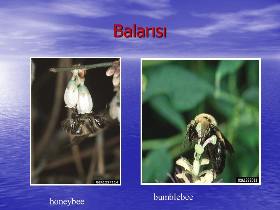 Vespidea=Sarıcıarılar ve eşek arıları Vespidea=Sarıcıarılar ve eşek arıları Provake edilmeden de saldırgandır.