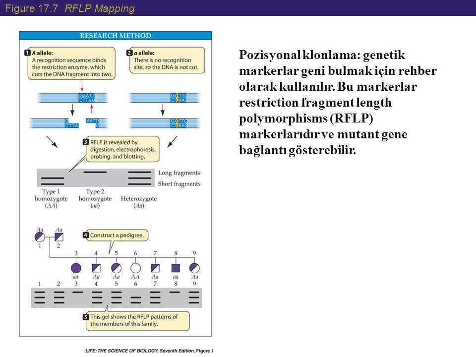 Figure 17.7 RFLP Mapping Pozisyonal klonlama: genetik markerlar geni bulmak için rehber olarak kullanılır. Bu markerlar restriction fragment length po